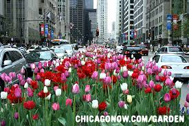when to plant tulips in chicago chicago garden