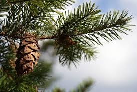 Types Of Christmas Trees To Plant by Growing Trees Growing Grass Tree Growing Birds U0026 Blooms