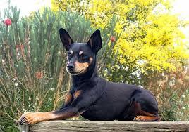 miniature pinscher dog breed information pictures