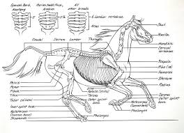 This Beautiful Drawing As All The Important Bones Of Horse Skeleton Anatomy