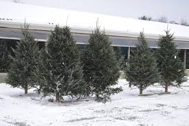 Fresh Cut Christmas Trees Stand For Sale Outside Burtons Market On East State Road In Olean Friday This Will Be A Busy Weekend Buying