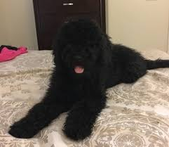 Portuguese Water Dog Shedding Problems by View Ad Portuguese Water Dog Puppy For Sale North Carolina