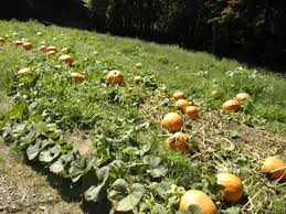 Canby Pumpkin Patch Train by Your Favorite Pumpkin Patches In Nw Oregon Sw Washington Kptv
