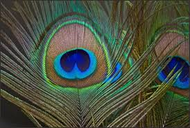 Beautiful Peacock Feather HD Pictures And Wallpapers