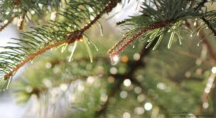 Seattle Christmas Tree Disposal 2015 by Choosing A Wildlife Friendly Christmas Tree The National