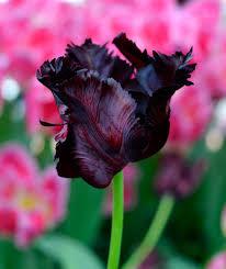 tulip bulbs black parrot dutchgrown