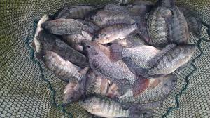 Tilapia Farming In Kenya