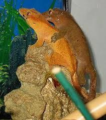 Crested Gecko Shedding Behavior by Crested Gecko Wikipedia