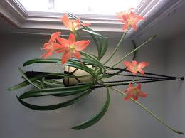 houseplant id asiatic askjudy houseplant411