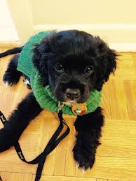 Do Cavapoos Shed A Lot by Penelope The Black U0026 White Cavapoo Puppy Dog In Her Cute Green