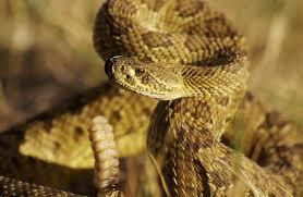 prairie rattlesnake crotalus viridus bwoodphotography