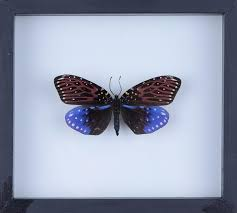 Real Butterfly Collection Natural Butterflies Mounted Under Glass In Wall Hanging Frames