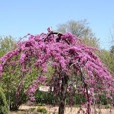 Lavender Twist Weeping Redbud Overview
