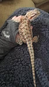 Bearded Dragon Heat Lamp Wattage by Bearded Dragon Hiding And Not Eating U2022 Bearded Dragon Org