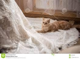 cat wedding dress cat sitting at the wedding dress stock photo image 55629209
