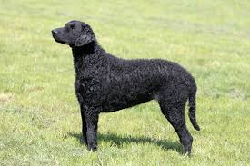 Chesapeake Bay Retriever Vs Lab Shedding by Curly Coated Retriever Dog Breed Information Pictures
