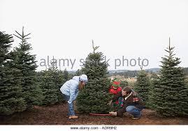 Nordmann Fir Christmas Tree Nj by Sawing Christmas Tree Stock Photos U0026 Sawing Christmas Tree Stock
