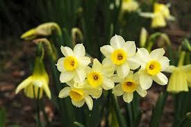 narcissus minnow tazetta daffodil