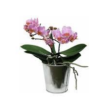 orchidée phalaenopsis en fleurs 2 hes florales cache