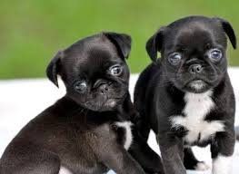 do pugs and puggles shed best 25 pug breed ideas on pet breeds boarding for