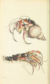 Do Hermit Crabs Shed Their Legs by 86 Best Crabs Lobsters And Other Sea Creatures Images On