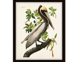 Vintage Audubon Brown Pelican Bird Print Giclee Art Poster Home Decor