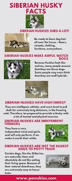 best 25 siberian husky training ideas on pinterest husky dog