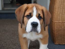 Do Short Haired Saint Bernards Shed by Swissysaint Puppies Greater Swiss Mountain Dogs Bred With Saint