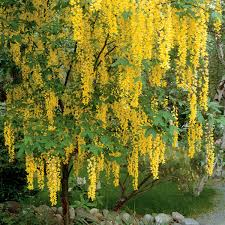 Canada St Johns Wort New Hampshire Garden Solutions