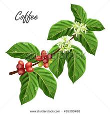 Coffee Tree Branch With Beans And Flowers Vector Illustration Isolated On White Background