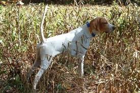 German Shorthaired Pointer Shed Hunter by Hunting Dogs Best Dog Breeds For Every Game Animal Outdoor Life