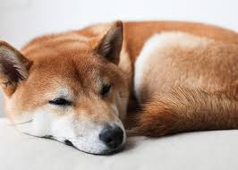do shiba inus shed hair doge what s it like to own a shiba inu