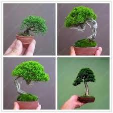 Seeds Miniature Bonsai Mini Pine Tree Kit Pot Flower Garden Seeds