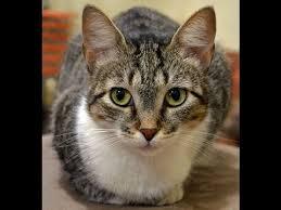 shorthair cat price shorthair cat characteristics price health