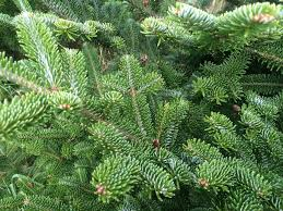 Fraser Fir Christmas Trees Uk by Know Your Fir Christmas Wreaths Direct