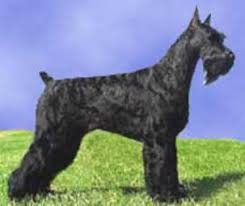 Do Giant Schnauzers Shed by Giant Schnauzers Schnoodles Jordan Family Treasures Dogs For