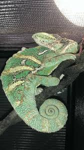 Basking Lamp For Chameleon by No Basking Light Help Chameleon Forums