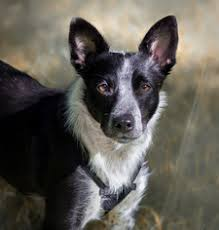 Do Blue Heeler Border Collies Shed by View Ad Border Collie Mix Dog For Adoption Minnesota Maple
