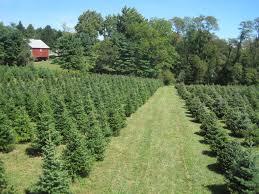 Canaan Fir Christmas Tree Needle Retention by 137 Jpg