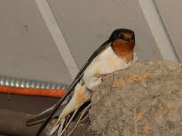 The Online Zoo - Barn Swallow Barn Swallow Sitting On A White In Sumrtime Stock Photo Swallow Watercolor Print 5x7 Bird Art David Scheirer Wooden By Limitlessendeavours On Deviantart Birding Is Fun The Beloved Character Concept Pilot Illustration Project Barn Barnstorming Swallows Make Their Return To New Hampshire Birds Of York Larks And Kinglets Cool Facts About Small With Forked Tails Hirundo Rustica Male Lake Washington Union Bay Seattle Usa Feather Tailed Stories