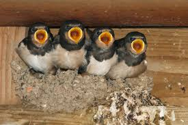 Barn Swallow - Most Popular Photos - JungleDragon Barn Swallow Hirundo Rustica Fledgling In Nest Stock Photo Chicks Almost Ready To Leave The The Life Of Filebarn Fledglings Nestling Siblings Near Its Three Young Hatchling Nests Seasons Flow Bird Nests A Website On Birds World Nestlings Nestwatch Sauvie Island 30 May 2013 John Rakestraw Words Birds Cservation And Research British Columbia