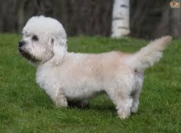 Low Shed Dog Breeds Large by 100 Large Low Shedding Dogs Maltipoo Designer Dog Breed