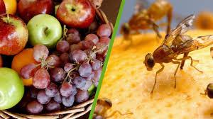 fruchtfliegen loswerden so bauen sie eine