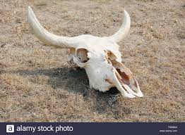 Decorated Cow Skulls Australia by Cow Skull Horns Stock Photos U0026 Cow Skull Horns Stock Images Alamy