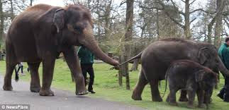 Cheeky young elephant dawdles and breaks tail to trunk chain at