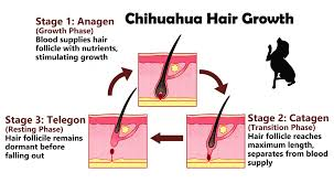 excessive hair shedding causes dealing with a shedding chihuahua