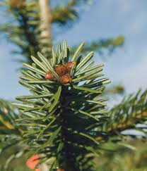 Christmas Tree Saplings For Sale Uk by Christmas Is Big Business For Tree Grower Insights Fg Insight