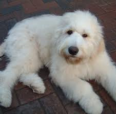 Non Shedding Small Dogs Uk by Uk Goldendoodles The Home Of Jastra Goldendoodles