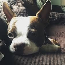 10 lazy dog breeds perfect for apartment living