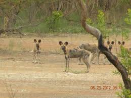 African Wild Dogs In West Africa